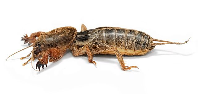 Are Mole Crickets or Other Pests Munching Your Lawn?