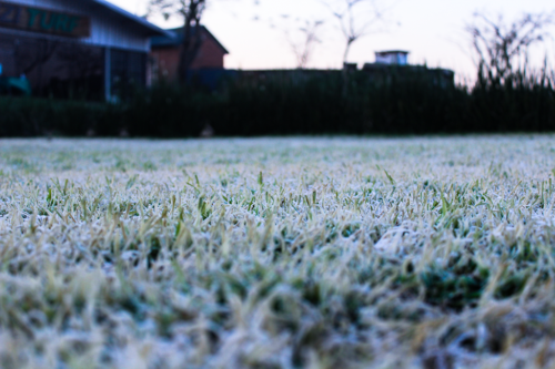 lawn recovery from frost damage